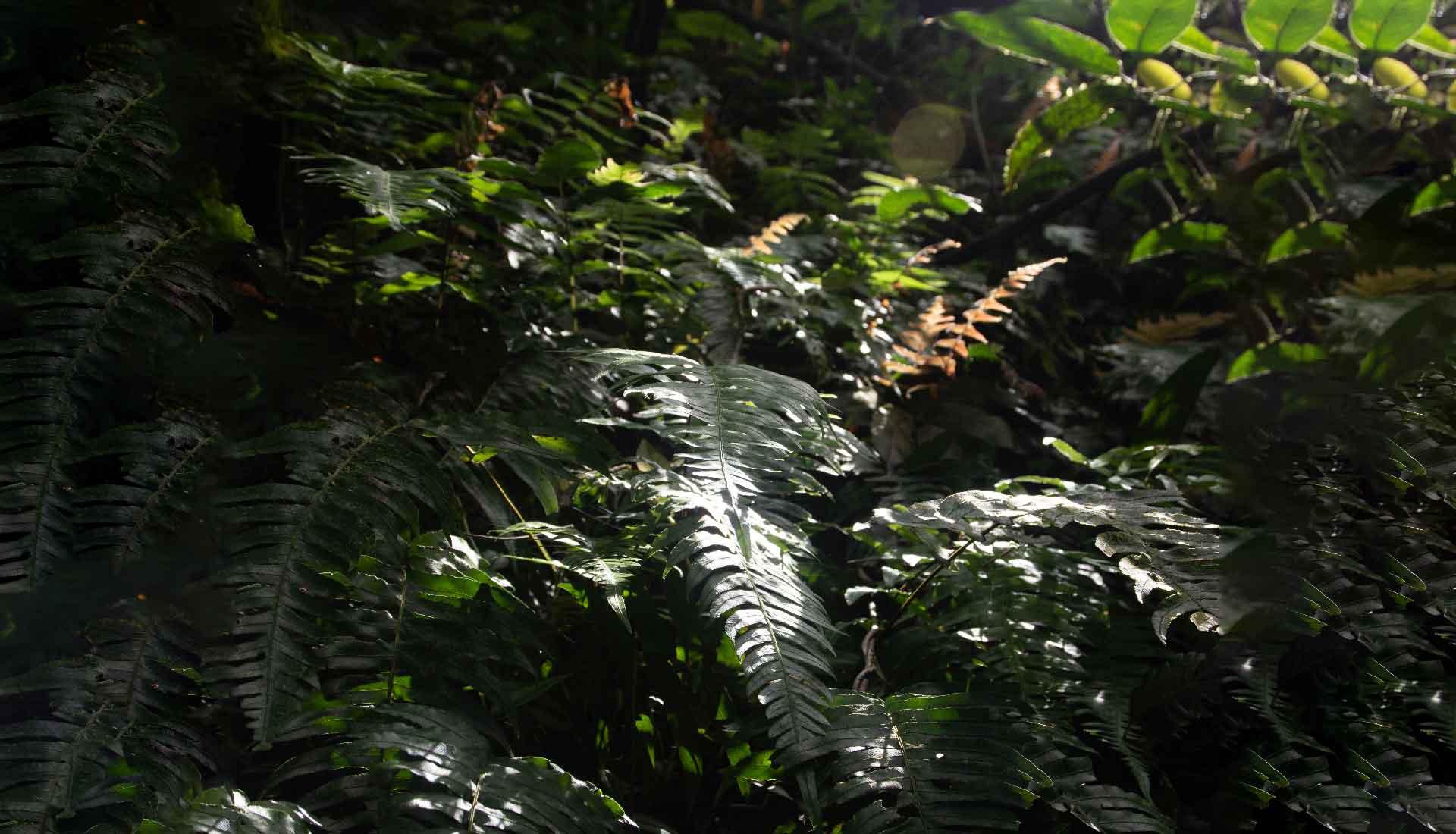 Sub-bosque de Samambaias 7253